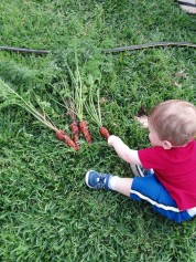 Aden carrots
